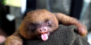 sloth tongue